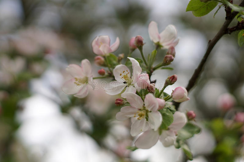 Apple-arbre en fleur photos stock