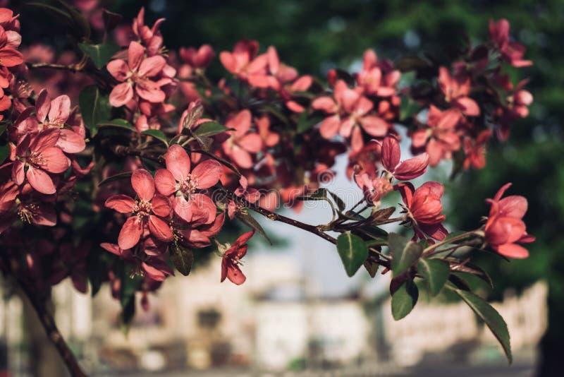 Apple-arbre fleurissant photo stock