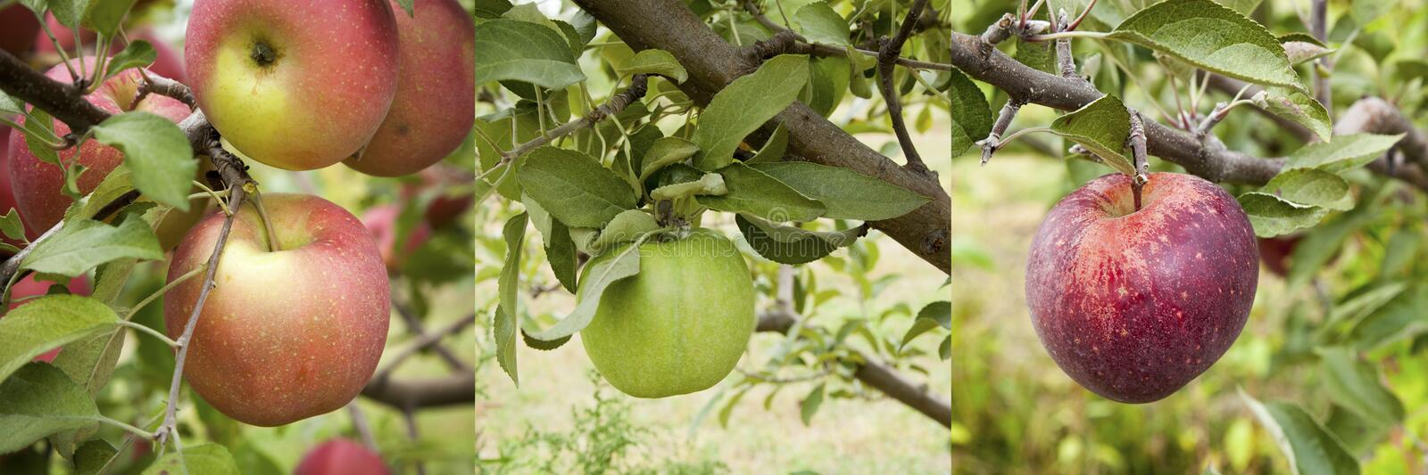 Apple Assortment Panorama royalty free stock images
