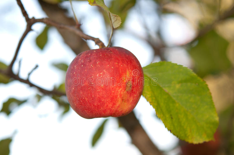 Apple on atree. Close up stock photo