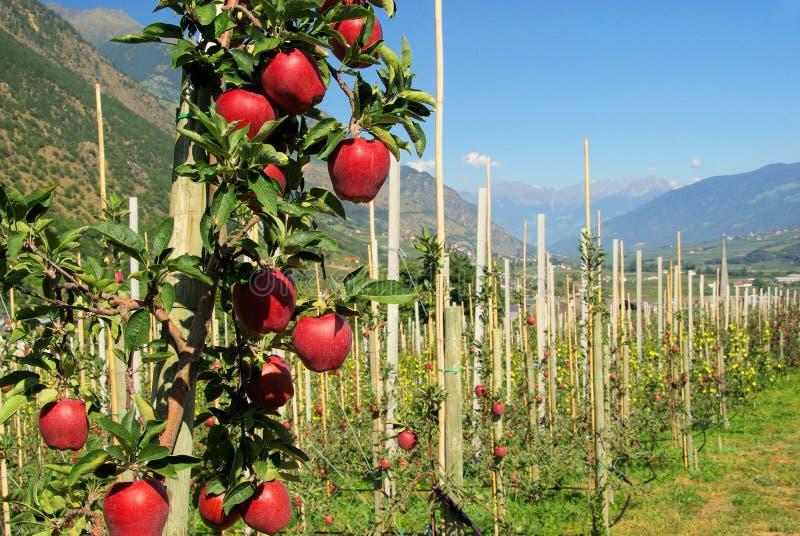 Apple auf Baum lizenzfreie stockbilder