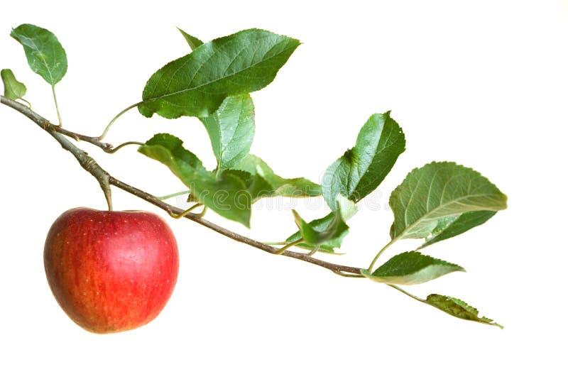 Apple auf einem Zweig stockfotografie