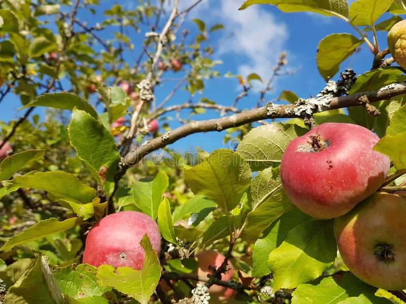 Apple in the Autum. An Appletree in the German Autum stock photo