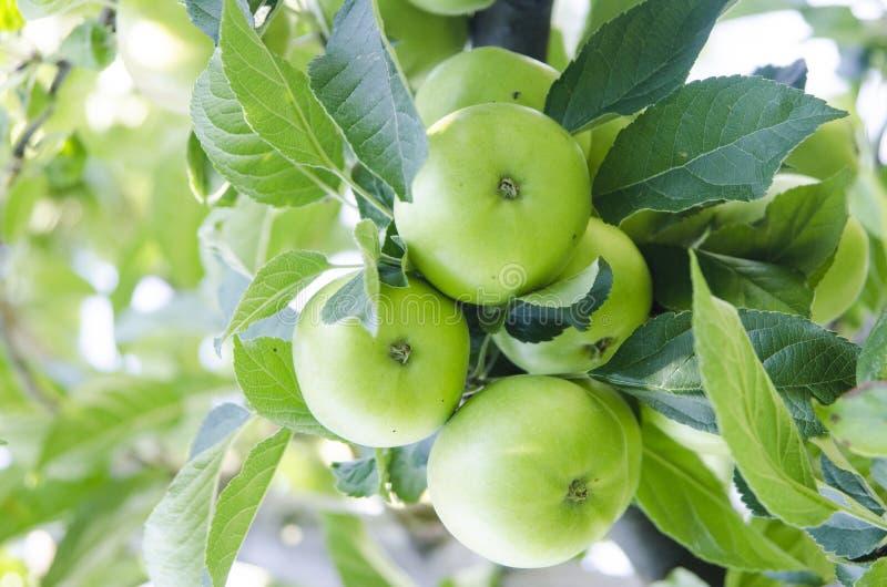 Apple avec des feuilles s'élevant sur l'arbre image stock