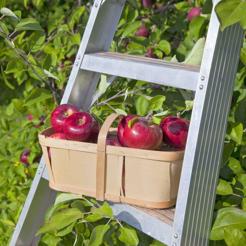 Download Apple Basket stock image. Image of snack, ripe, dessert - 29300805