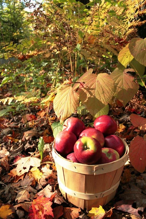 Apple basket royalty free stock photo