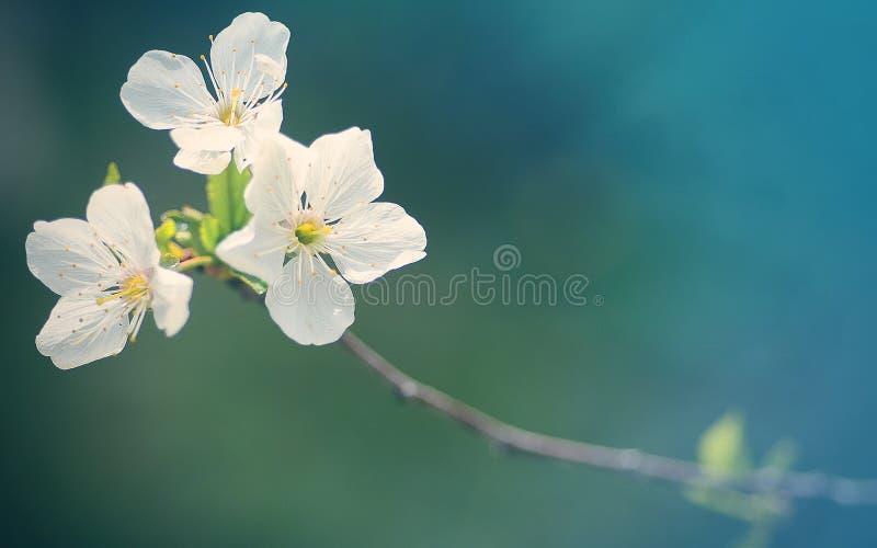 Apple-Baum Blumen lizenzfreies stockbild