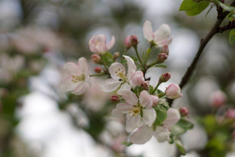 Apple-Baum in der Blüte stockfotos