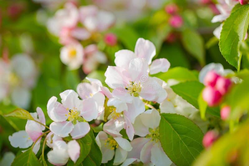 Apple-Baumastblütenmakroabschluß herauf Schuss auf weißen Blumen a stockfotografie