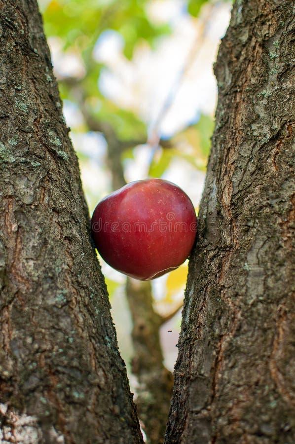 Apple-Baumrinde stockbilder