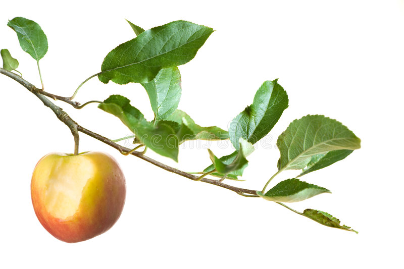 Apple with bite on a branch stock photos