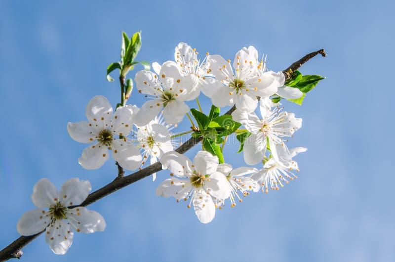 Apple blühen Blumen im Frühjahr und blühen auf jungem Baumast nach den letzten Schneefällen im April, lokalisiert über unscharfem stockfoto