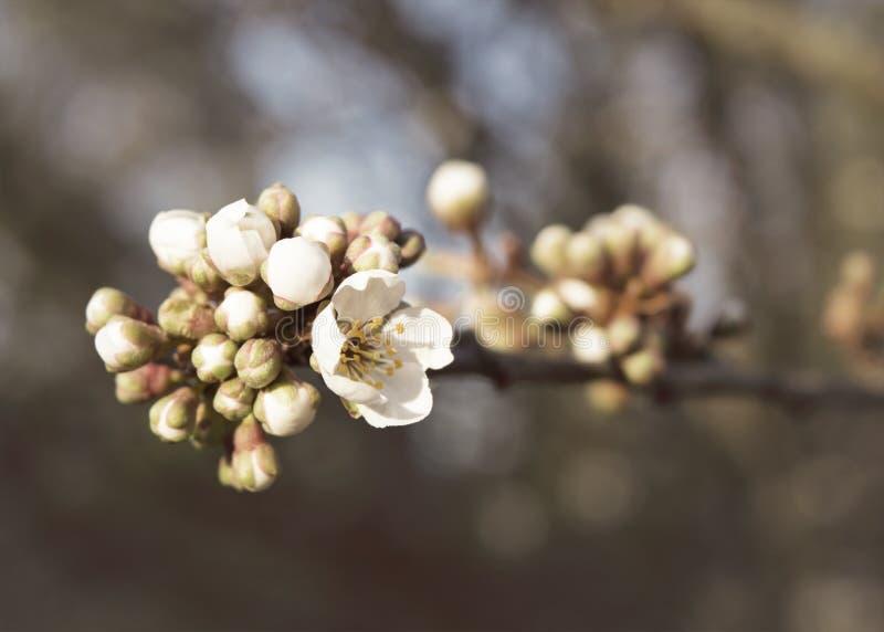 Apple blühen Niederlassung mit Knospungsblumen stockfotografie