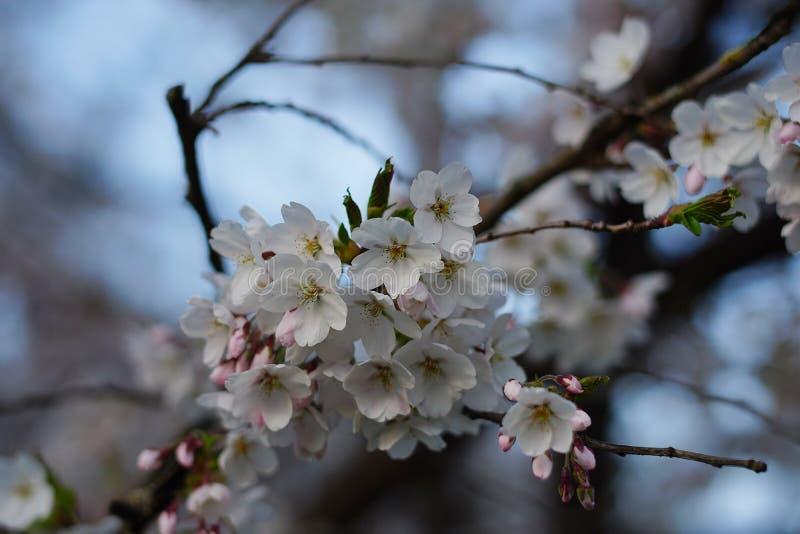 Apple blüht in der Blüte im englischen Garten in München stockfotos