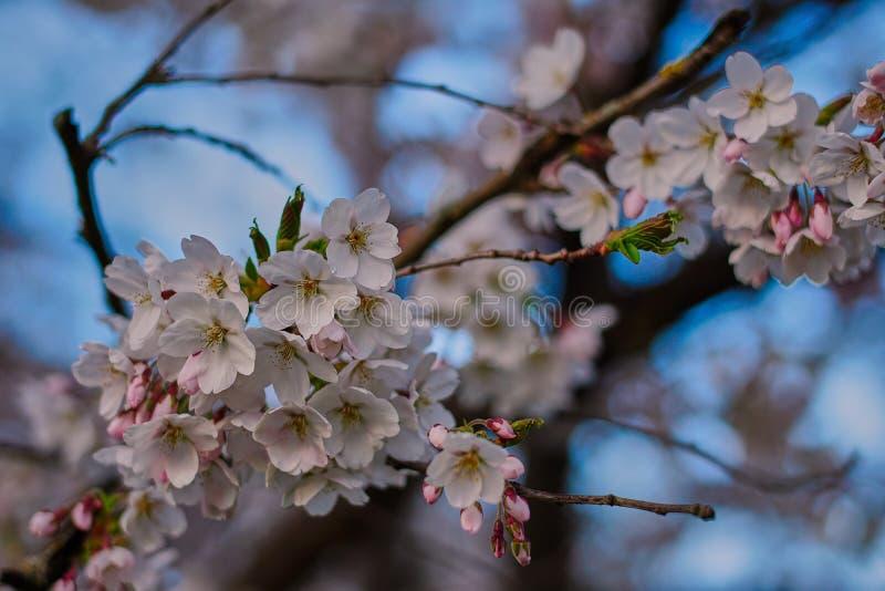 Apple blüht in der Blüte im englischen Garten in München stockbild