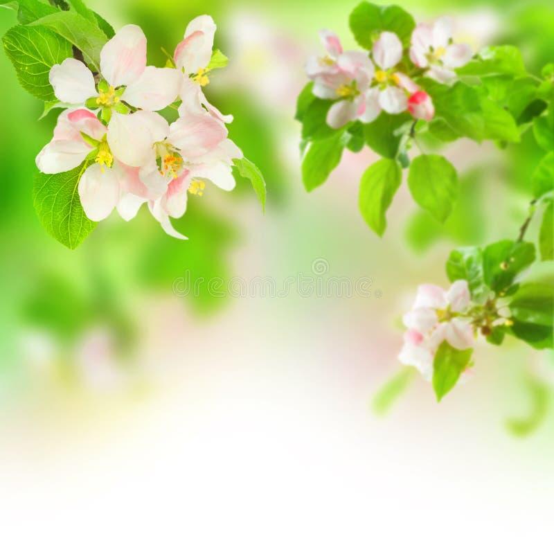 Apple-Blüte stockfoto