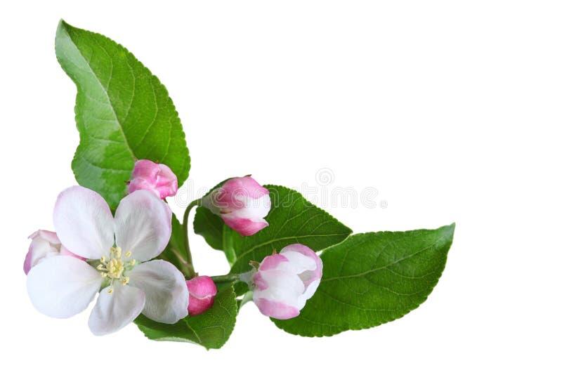 Apple-Blüte stockfotografie