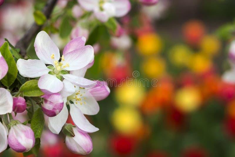 Apple-Blüte im Garten, Frühlingskonzept Weiße und rosa Blumen auf dem Baum, auf dem Hintergrund von hellen roten und gelben Tulpe stockfoto