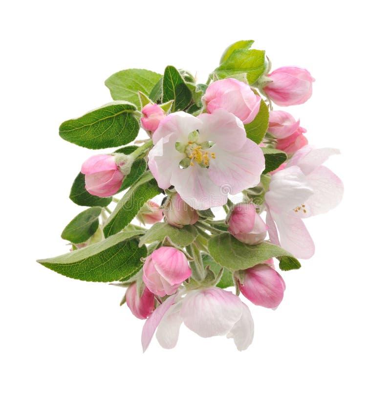 Apple-Blüten. lizenzfreie stockfotos