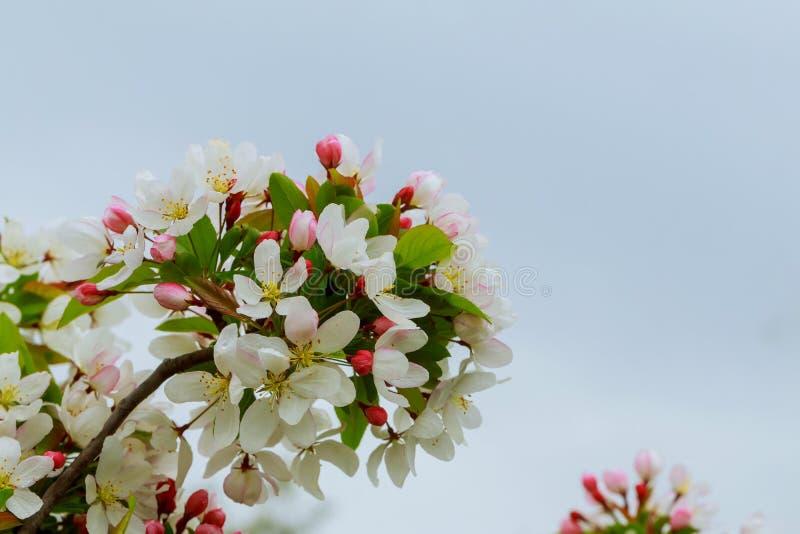 Apple-Blütenblumen im Frühjahr, blühend auf jungem Baumast über unscharfem blauem klarem Himmel stockfotografie