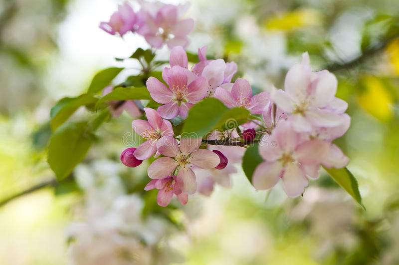 Apple-Blütennahaufnahme lizenzfreie stockfotografie