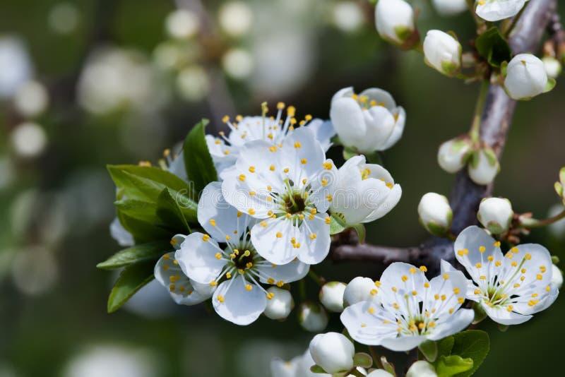 Apple-bloemen macromening Bloeiende fruitboom stamper, meeldraad, bloemblaadje gedetailleerd beeld Het landschap van de de lentea stock afbeeldingen