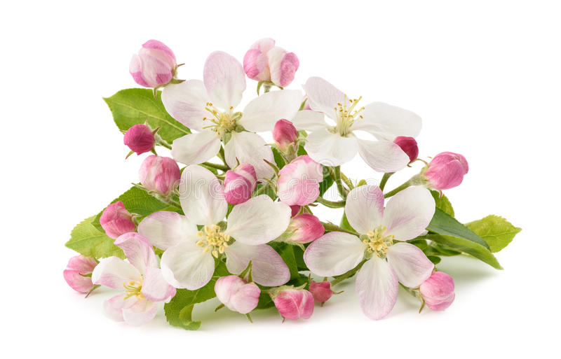 Apple-Bloemen met knoppen royalty-vrije stock afbeeldingen