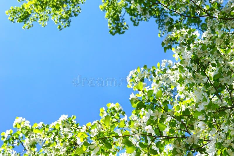 Apple-bloesem in volledige bloei over de blauwe hemelachtergrond royalty-vrije stock fotografie