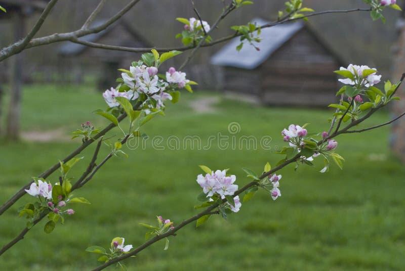Apple-bloesems op een boom en een Historisch Gebouw royalty-vrije stock afbeelding