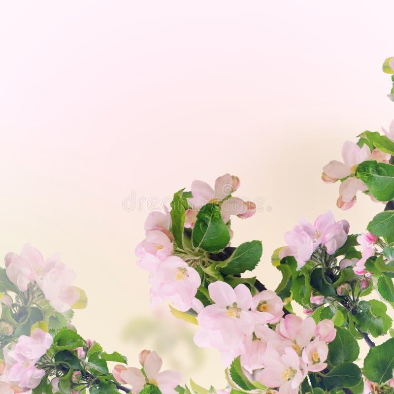 Apple blom- bakgrund royaltyfria bilder