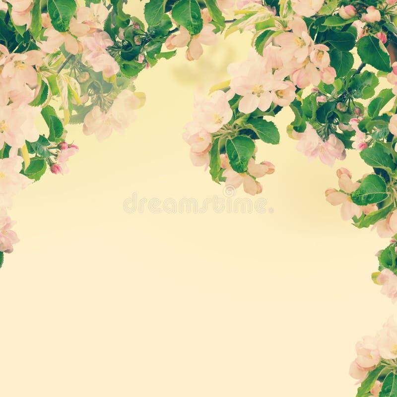 Apple blom- bakgrund royaltyfria foton
