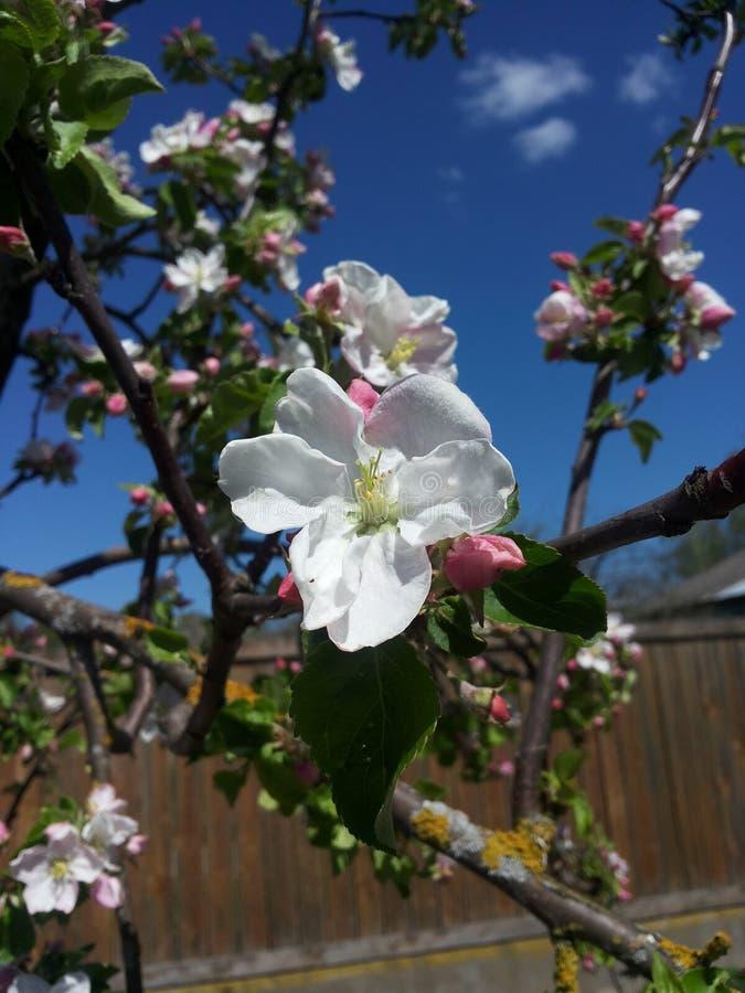 Apple blomma fotografering för bildbyråer