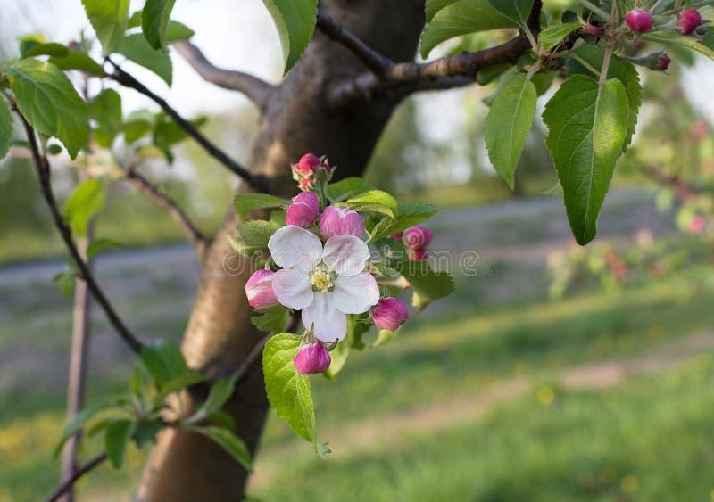 Apple blommablomning på vårtid royaltyfri bild