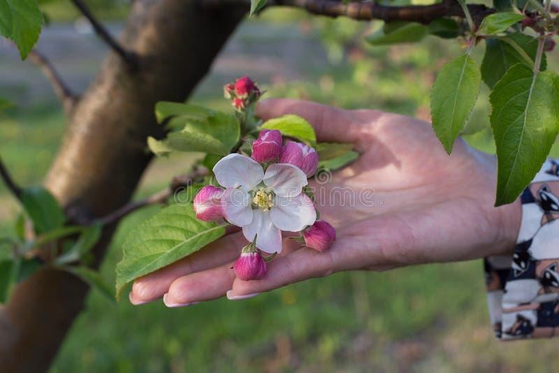Apple blommablomning på vårtid arkivfoto