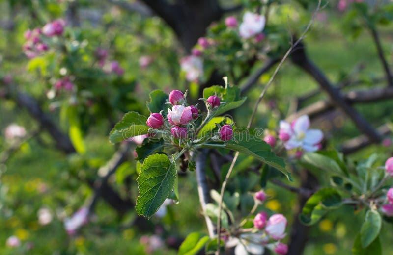 Apple blommablomning på vårtid royaltyfria bilder