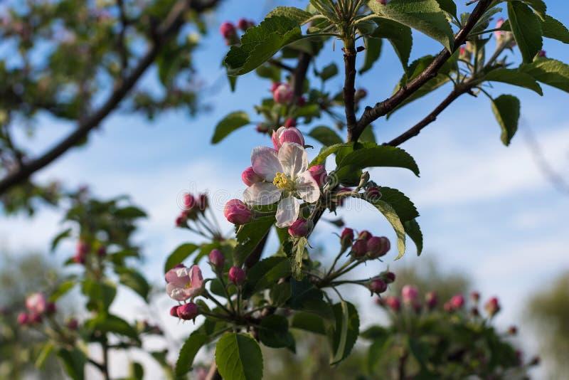 Apple blommablomning på vårtid royaltyfria foton