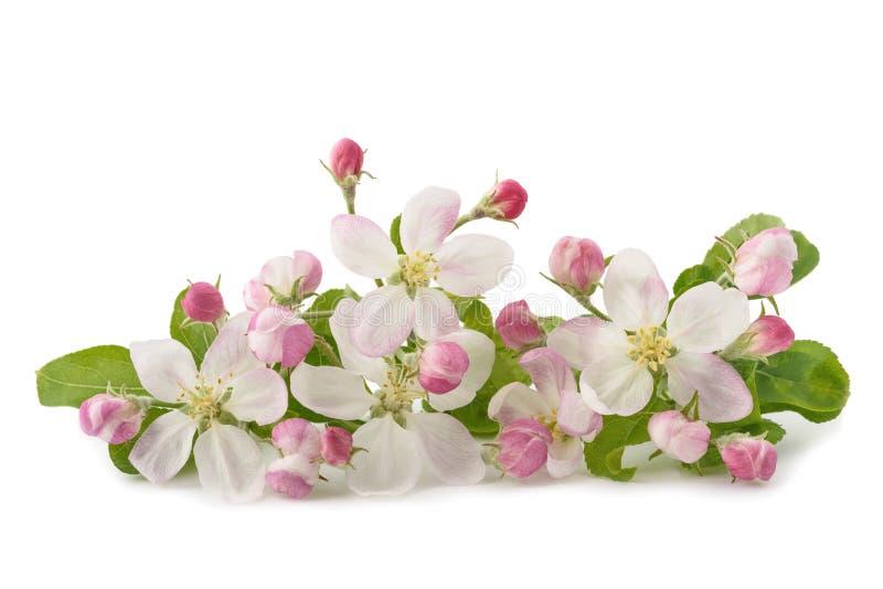 Apple blommar med knoppar fotografering för bildbyråer