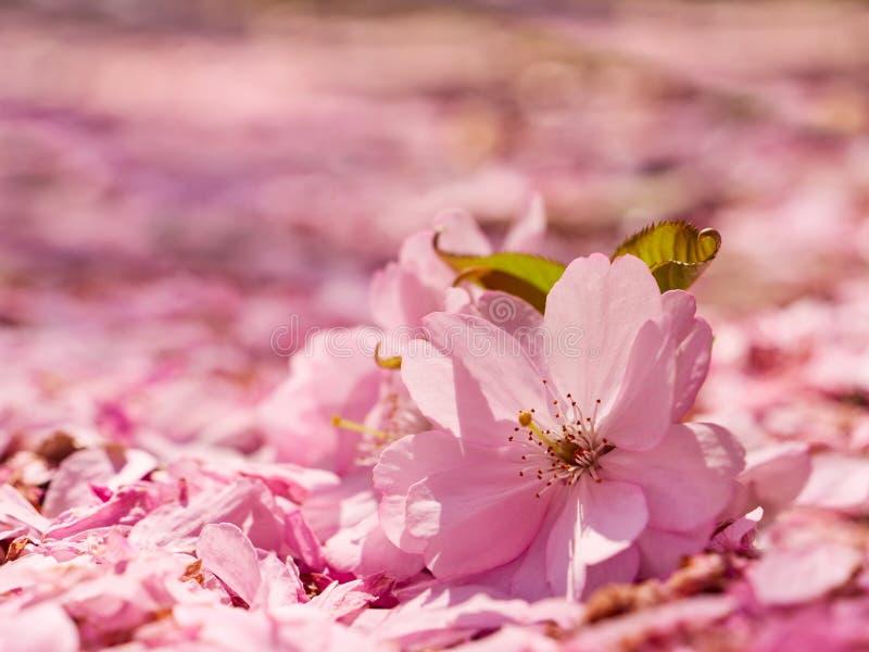 Apple blommar på jordningen som täckas med kronblad arkivfoto
