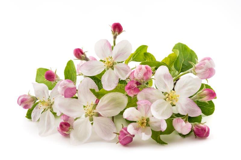 Apple blommor royaltyfria bilder