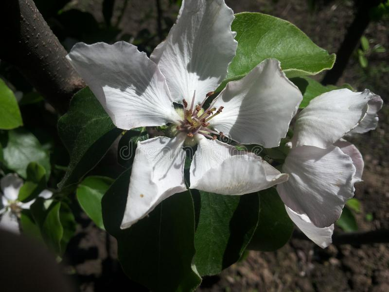 Apple blommor royaltyfria bilder