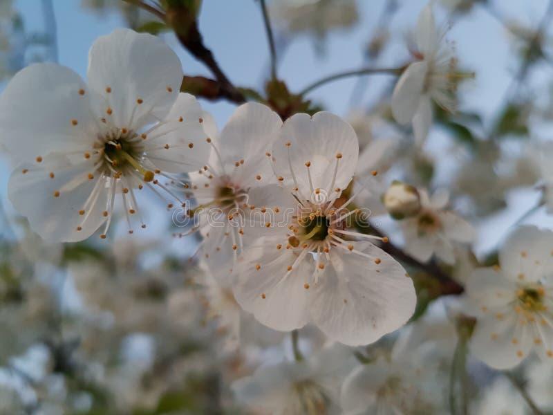 Apple blommor fotografering för bildbyråer