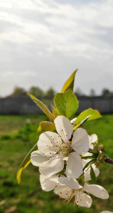 Apple blommor mot bakgrunden av trädgården arkivbild