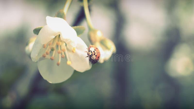 Apple blommor och ladybag arkivfoton