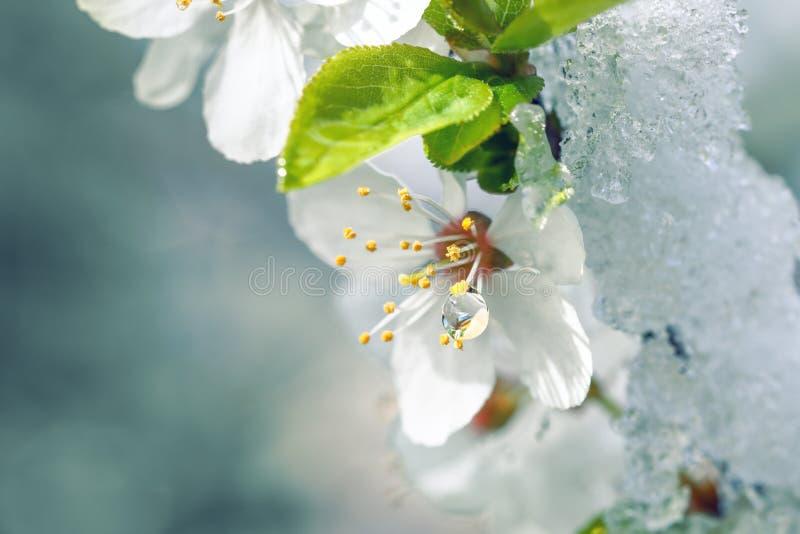 Apple blommor som täckas med snö royaltyfria bilder