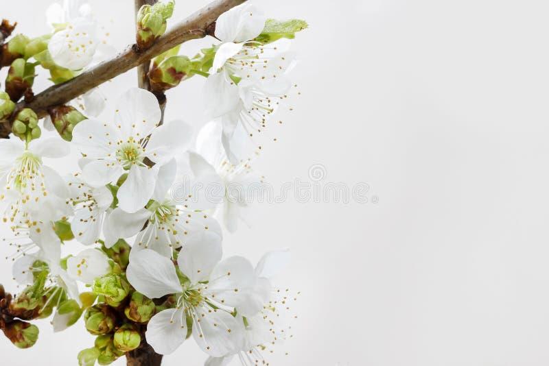 Apple blomning på vit bakgrund arkivfoto