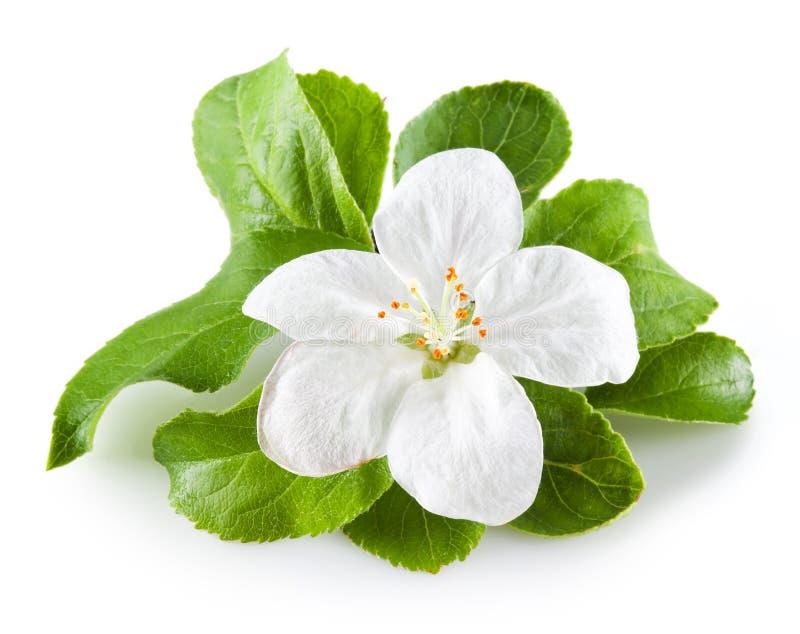 Apple blomning som isoleras på vit royaltyfria bilder