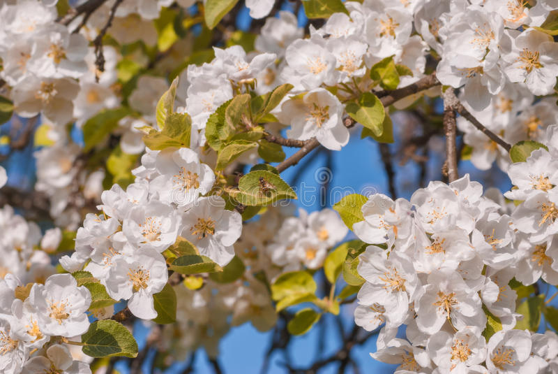 Apple blomningbakgrund Fjädra den tid… ron lämnar, naturlig bakgrund royaltyfri foto