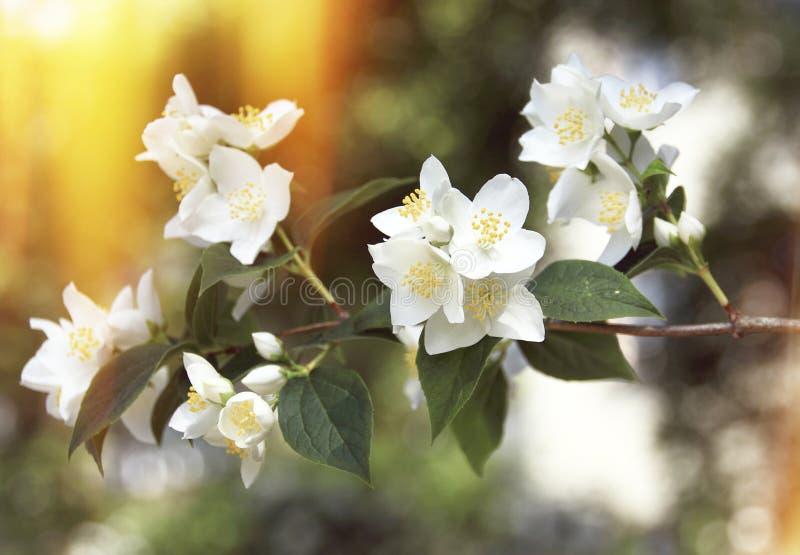 Apple blomningblommor royaltyfri fotografi