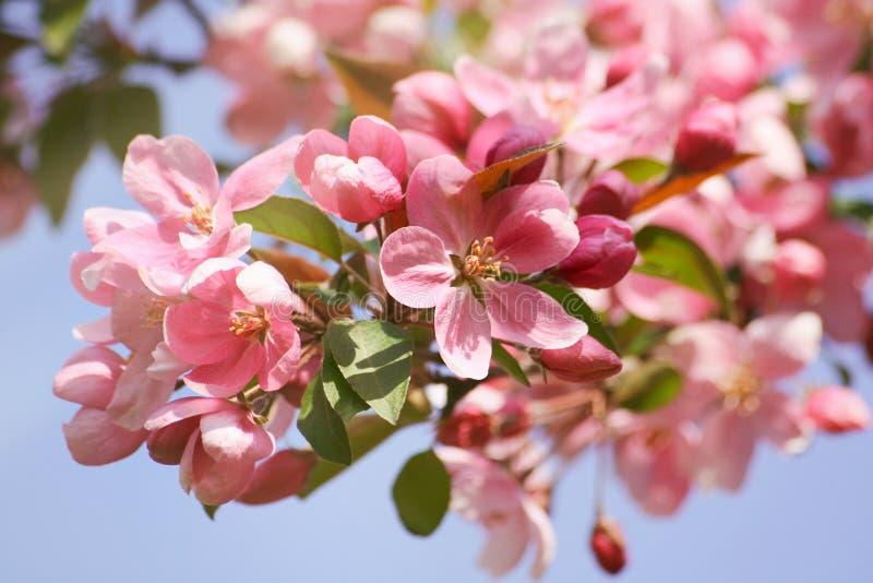 Apple blomningblommor mot en blå himmel arkivbilder