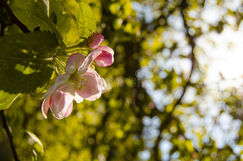 Apple blomningTree arkivfoton